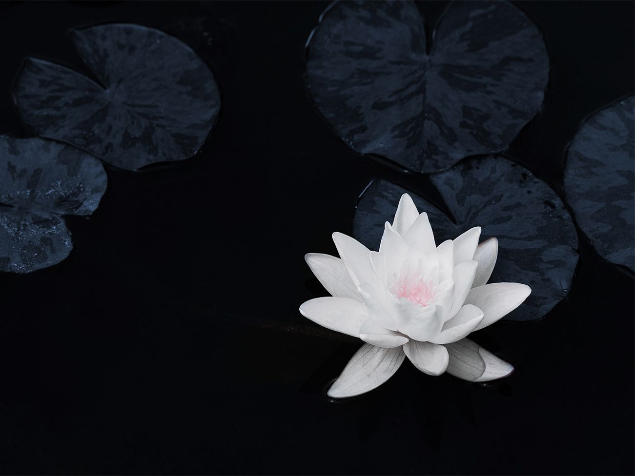 Water lily – calm